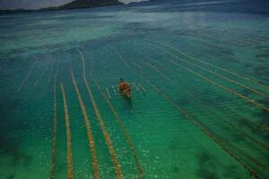 A seaweed farmer collects his products from a boat.