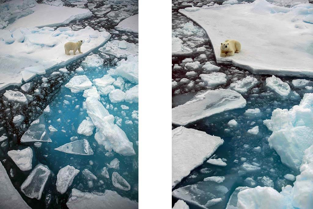 A lonely polar bear standing and lying on Svalbard's pack ice