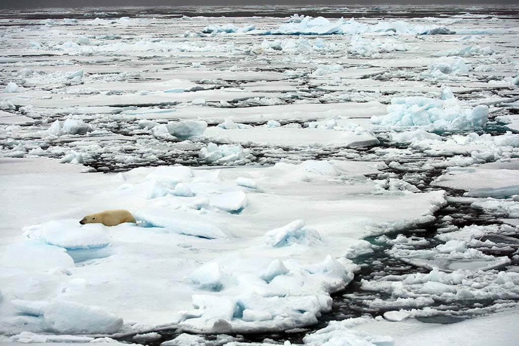 Lonely polar bear lying on pack ice, Svalbard, Norway.