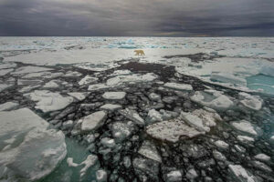Polar bear walking over pack ice in Svalbard, Norway