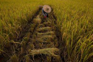 Harvest worker in Thailand