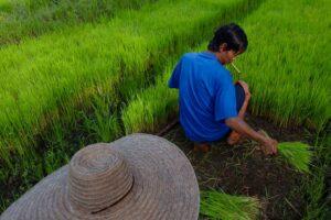 Thai man smoking while harvesting a rice field