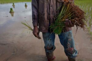 Close-up of a worker standing in a rice field with his harvest